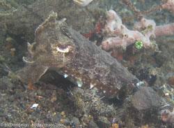BD-080331-Lembeh-3312449-Sepia-latimanus.-Quoy---Gaimard.-1832-[Broadclub-cuttlefish].jpg